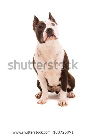 A baby American Staffordshire Terrier, posing isolated over a white background - stock photo