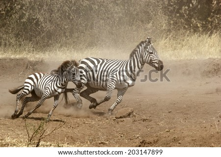 A baby and a mother common zebras (Equus Quagga) gallopping in Serengeti National Park, Tanzania - stock photo