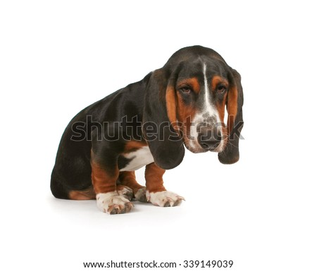 a baby basset hound beagle mix puppy pouting on a white isolated background  - stock photo