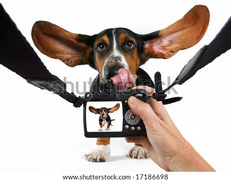 a baby basset hound getting his photo taken - stock photo