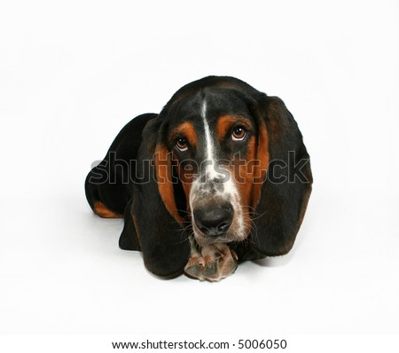 a baby basset hound lying down - stock photo