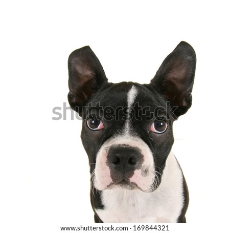 a baby boston terrier puppy close up  - stock photo
