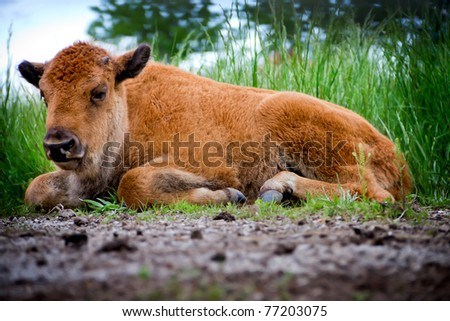A baby buffalo laying in a prairie.  Buffalo once ran the Great Plains of the United States.  They are still numbered in select areas of the United States.