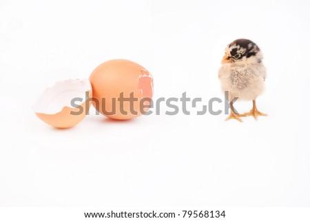 A baby chick over a broken egg - stock photo