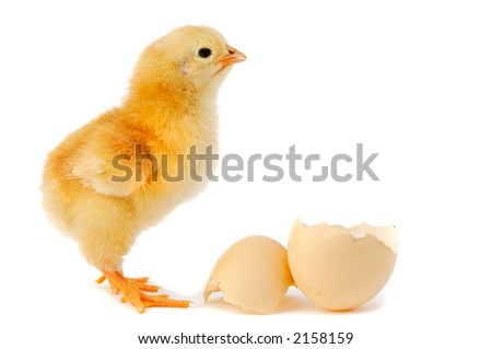 A baby chick over a white background - stock photo