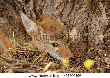 Baby Coyote Stock Images, Royalty-Free Images & Vectors ...