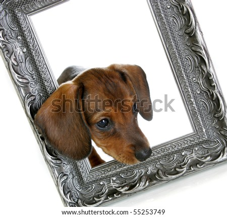 A baby Dachshund walking through a picture frame - stock photo
