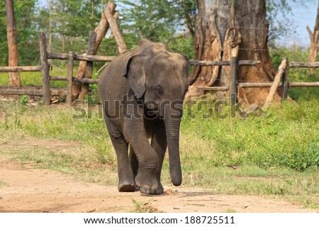 A baby elephant at the Udawalawe Elephant Transit Home and Information Centre Department of Wildlife Conservation Sri Lanka. - stock photo