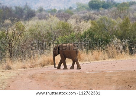 A baby Elephant crosses the road as it walks towards its mother in Pilanesberg National Park, South Africa. - stock photo