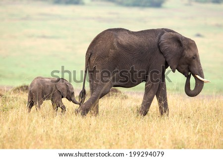 A baby elephant following his mother - stock photo