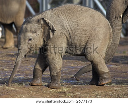 A baby elephant playing in the mud - stock photo