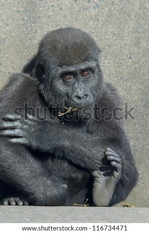 A baby female gorilla sitting on concrete