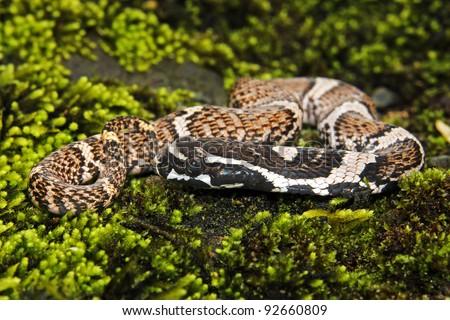 A baby Giant False Viper (Xenodon severus) in the Peruvian Amazon (aka Giant False Fer-de-Lance) - stock photo