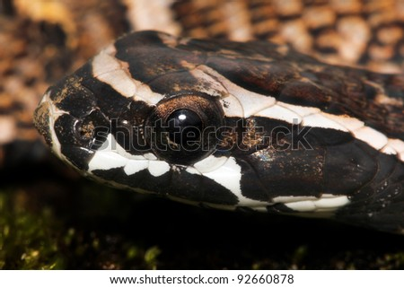 A baby Giant False Viper (Xenodon severus) in the Peruvian Amazon (aka Giant False Fer-de-Lance) Isolated with space for text - stock photo