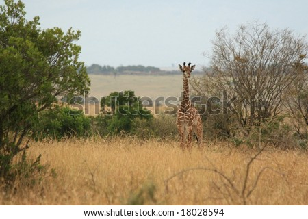 a baby giraffe in kenya's national park - stock photo