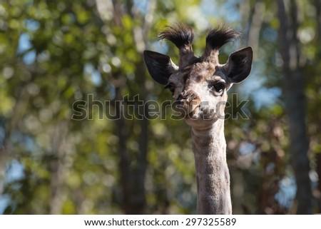 A baby Giraffe portrait - head and neck - stock photo