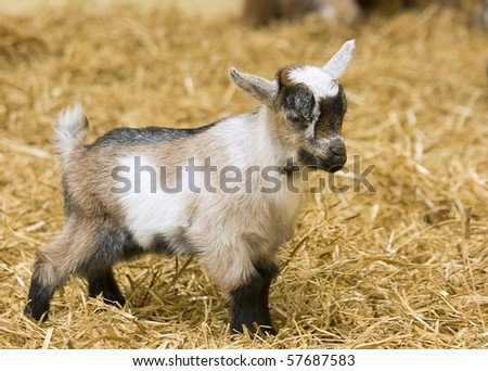 A baby goat standing on straw bedding in an indoor animal pen