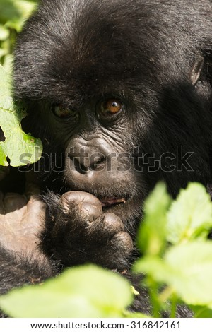 A baby gorilla in dappled sunshine looks upwards while biting one of its fingers. It is sitting in the forest surrounded by leaves. - stock photo
