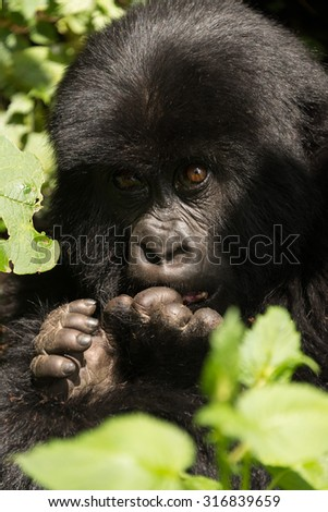 A baby gorilla in dappled sunshine looks upwards with both its hands in front of its face. It is sitting in the forest surrounded by leaves. - stock photo