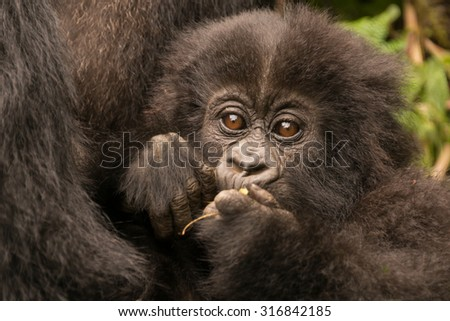 A baby gorilla in the forest of the Parc National des Volcans in Rwanda chews a small branch. It is being held by its mother, but only her chest can be seen beside the baby's head. - stock photo