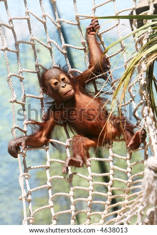A baby gorilla is swinging playfully on a rope net. - stock photo