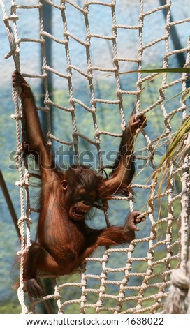 A baby gorilla makes a horrible face when he can't get his way. He wants to stay and play on the ropes but his parents won't let him - stock photo