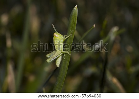 A baby grasshopper (about 3-4 mm in length) clings to a single blade of grass. - stock photo
