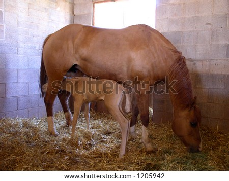 a baby horse looking for dinner, only one day old - stock photo