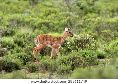 A baby impala antelope in an open green field. South Africa - stock photo