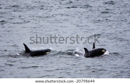 A baby killer whale (orcinus orca) is surfacing with a female close behind. there is also a third whale surfacing just behind the baby. - stock photo