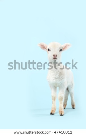 A baby lamb on a soft baby blue background.