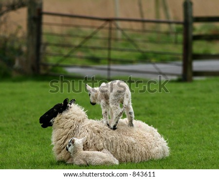 A baby lamb standing on its mothers back, with its twin sitting nearby in a field - stock photo