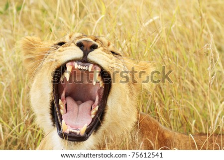 A baby lion (Panthera leo) on the Maasai Mara National Reserve safari in southwestern Kenya. - stock photo