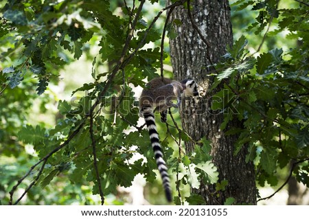 A baby Madagascar lemur playing in branches - stock photo