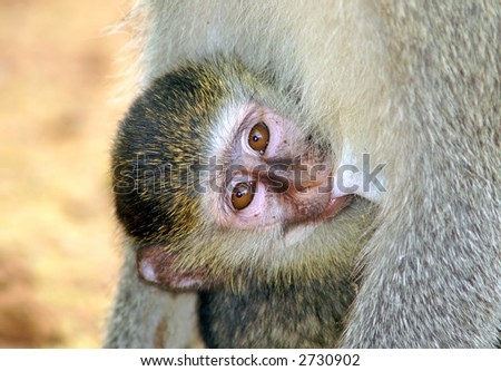 A baby-monkey with it's mother - stock photo
