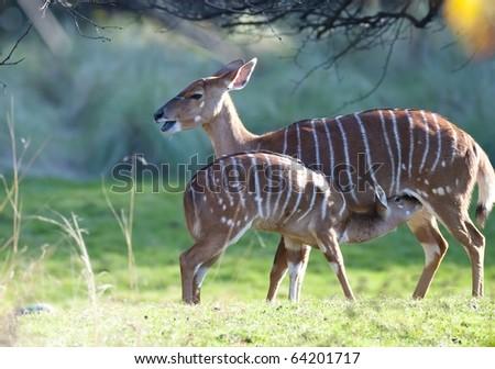 A baby Nyala feeding - stock photo