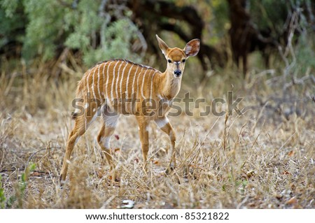 A baby Nyala walks into the clearing