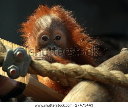 A baby orangutan (Pongo abelii) taking a break from playing