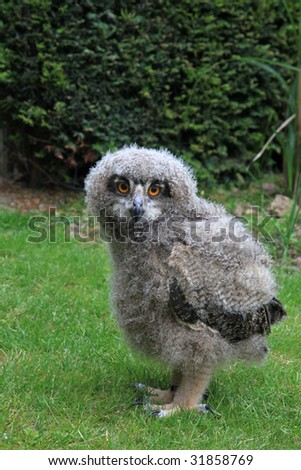 a baby owl , ( 3 weeks old ) Bubo bubo or Eurasian Eagle Owl - stock photo