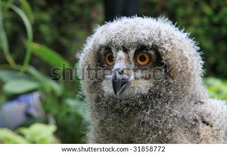 a baby owl , ( 3 weeks old ) Bubo bubo or Eurasian Eagle Owl