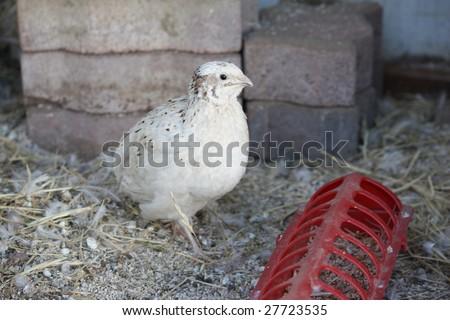 A baby quail feeding in a hutch - stock photo