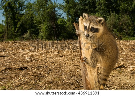 A baby raccoon searching for her home after woods were cleared for a development complex. - stock photo