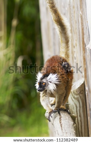 A baby ring-tailed lemur hitching a lift from mum.  This baby was only a couple of days old. - stock photo