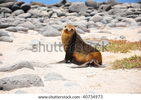 A baby Sea lion on a Galapagos beach - stock photo