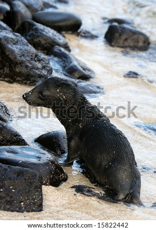 A baby sea lion plays on the beach in the Galapagos Islands - stock photo