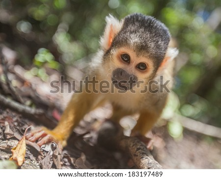 A baby squirrel monkey peers into the lens - stock photo