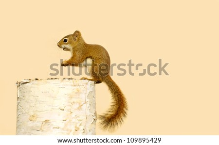 A baby squirrel on a birch log enjoying some sunflower seeds in with copy space.  - stock photo