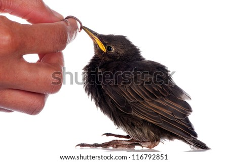 A baby starling is fed with an earthworm by a human hand. - stock photo