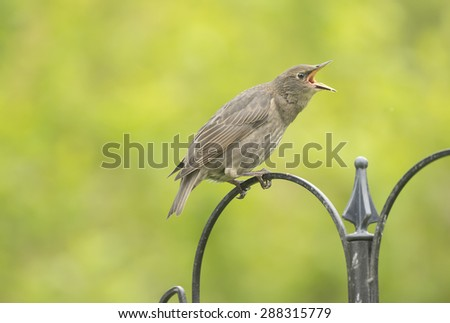 A baby Starling perched on a feeder squawking - stock photo