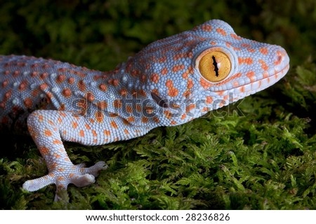 A baby tokay gecko is sitting on moss. - stock photo